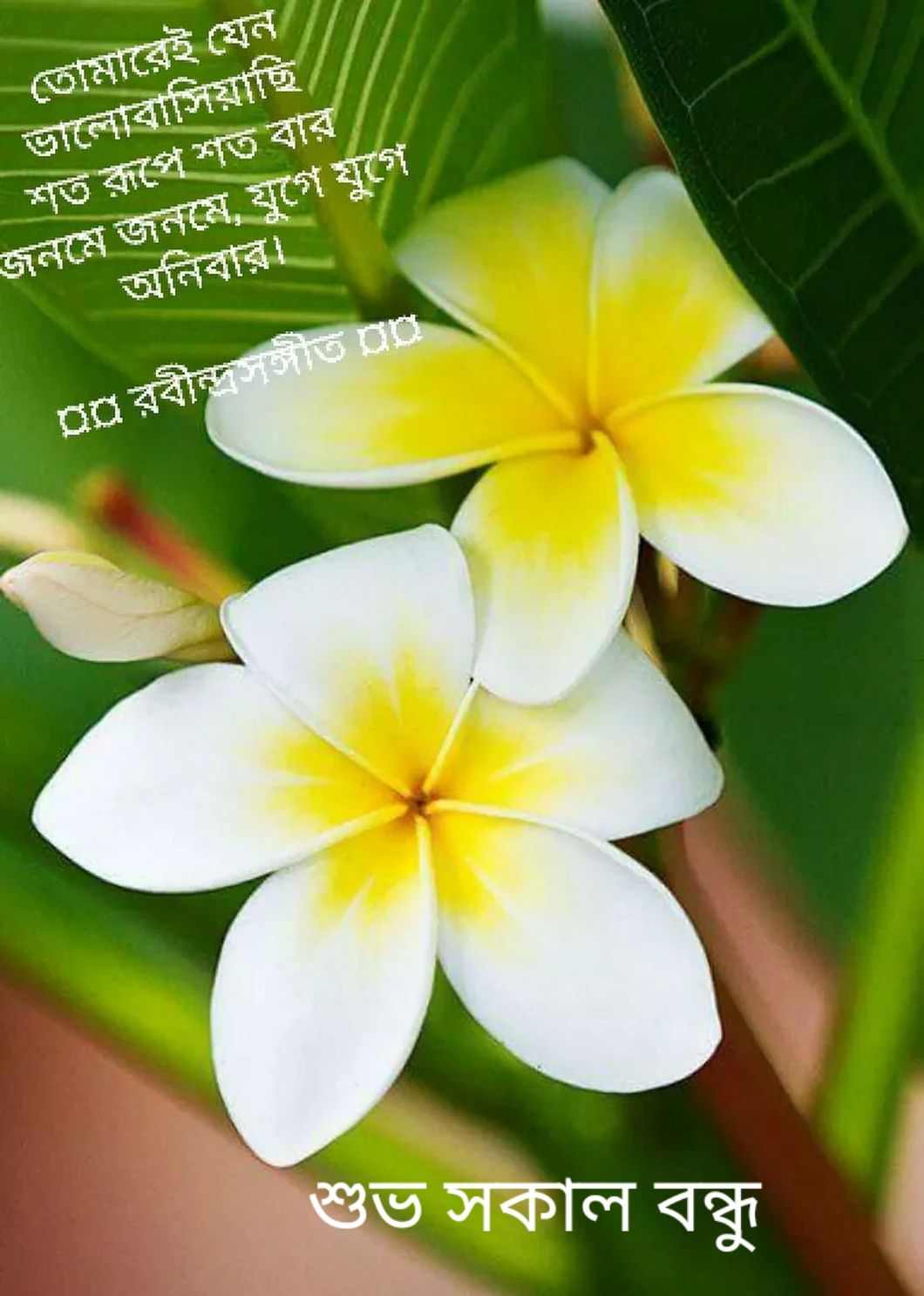 Pin By Love Story On Good Morning Photo English And Bengali Beautiful Flowers Plumeria Flowers Pretty Flowers