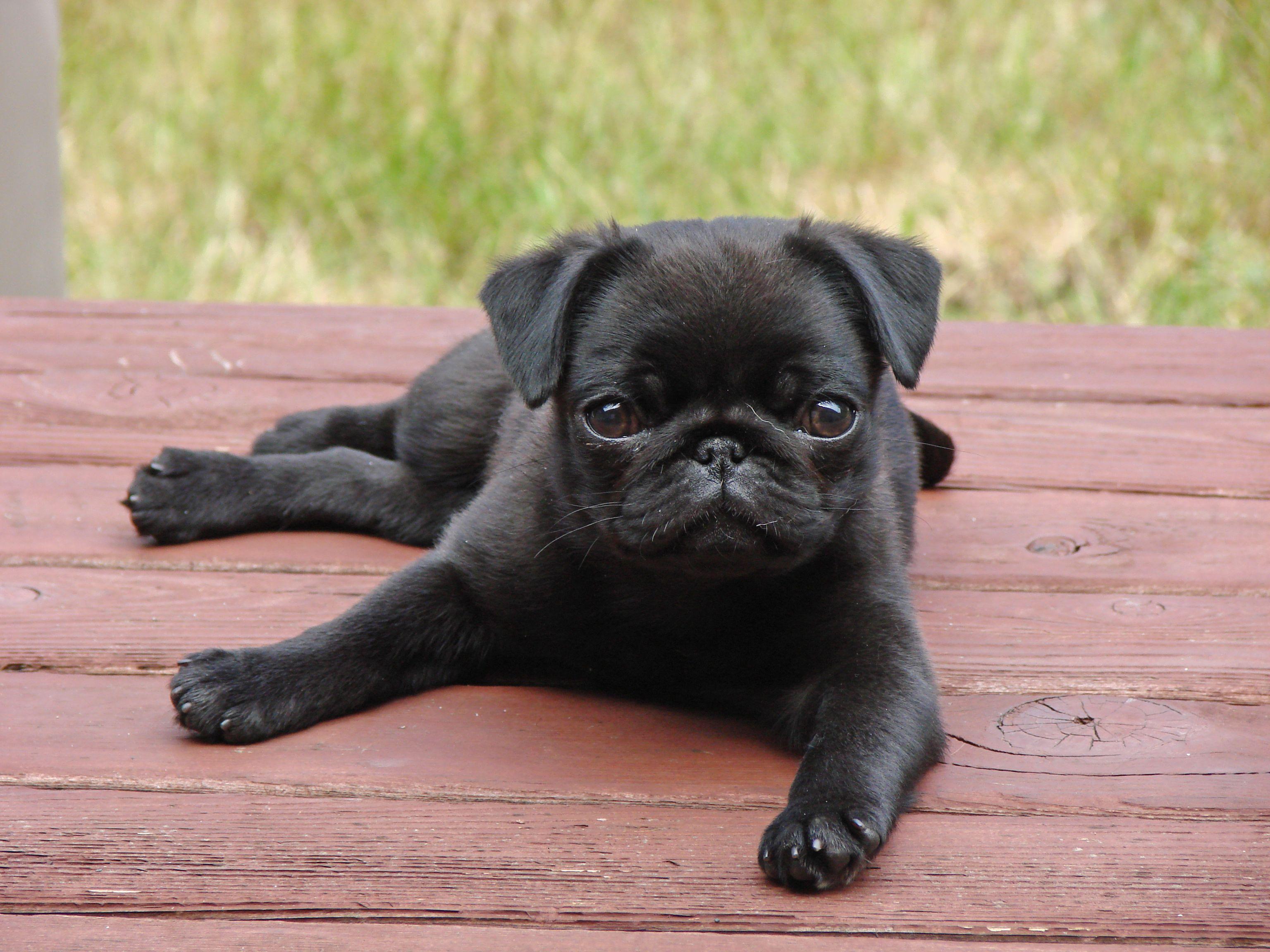 Black Pug Full Grown Wallpaper 3 Jpg 3072 2304 Cute Pugs Cute