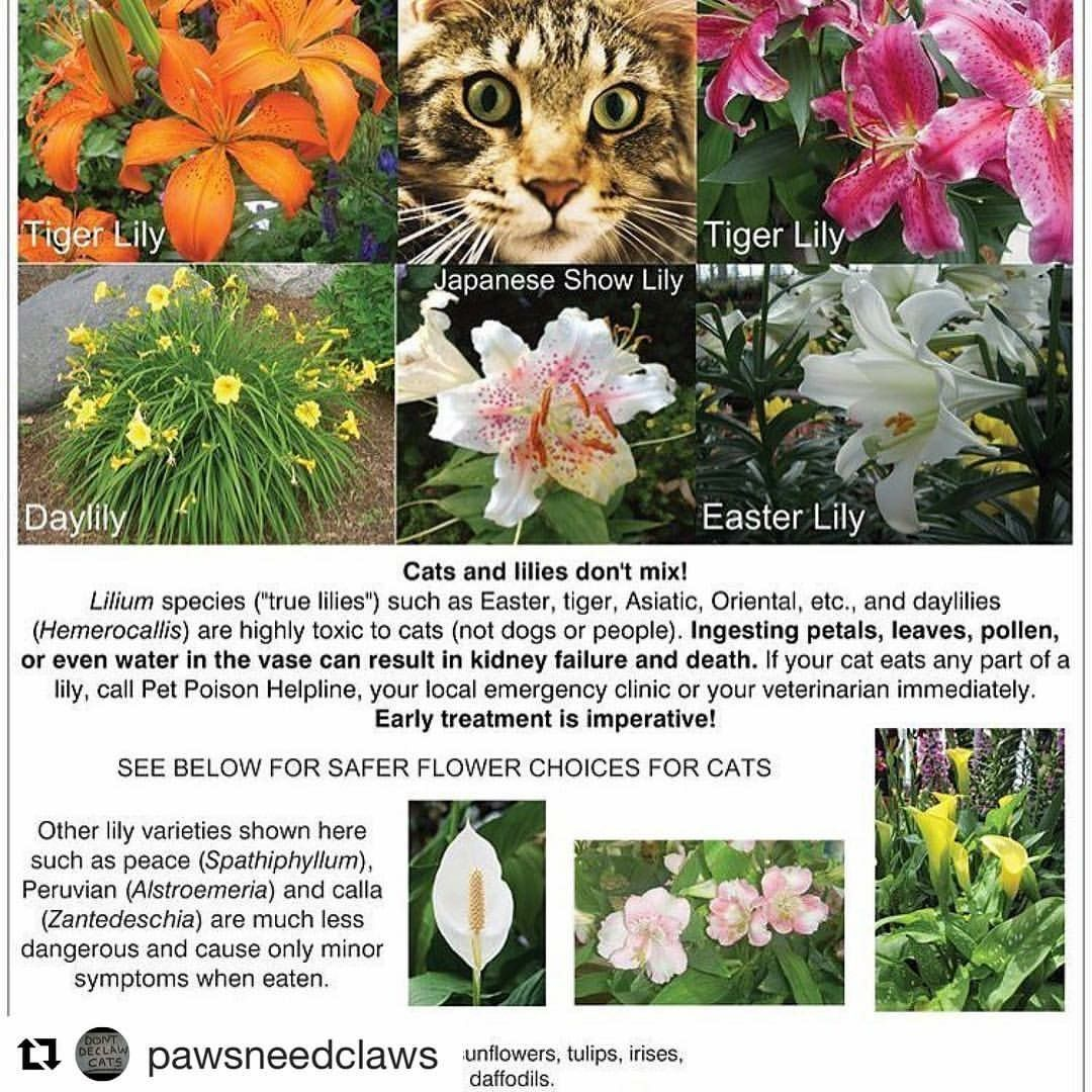 Lillies Are Poisonous For Cats Cat Plants Toxic Plants For Cats Pet Poison