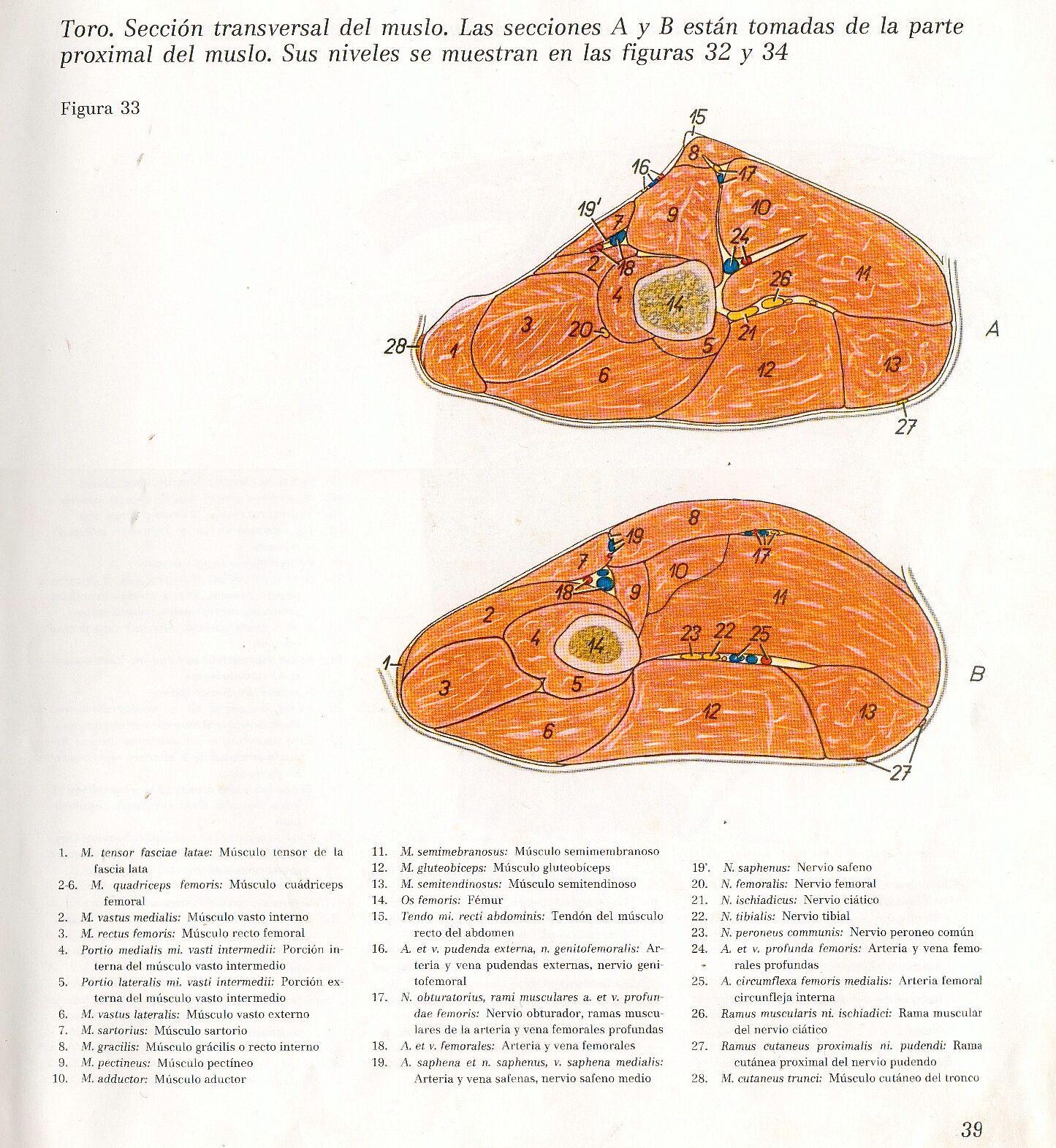 Anatomia Veterinaria: Miembro Pelviano (Toro) | Ejercicios ...