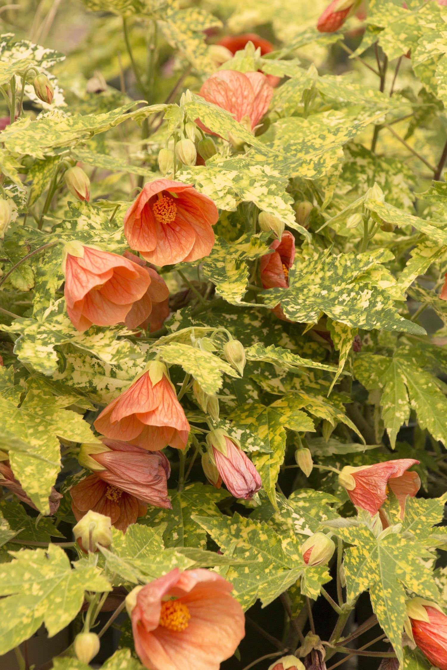 thompson's flowering maple - abutilon