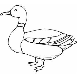 Mallard Duck  ducks  Pinterest  Mallard Coloring pages and