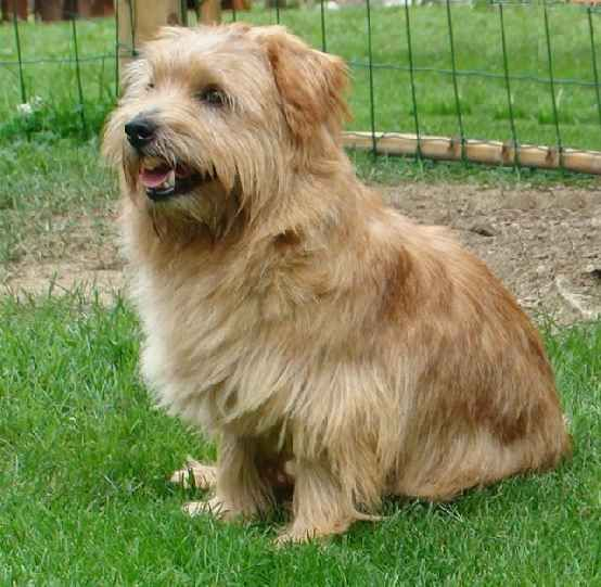 I love this Norfolk Terrier pup. He's the perfect size... not too big, not too small, and pretty stinkin' cute.