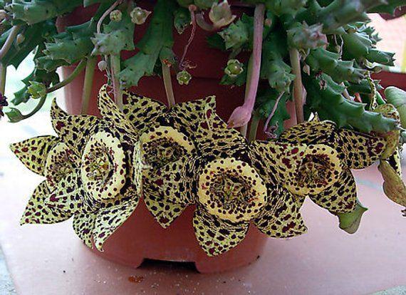 Orbea Variegata   Starfish Flower   Cactus   Stapelias   Orbea   5 Seeds    Rare 2d61b5bf5