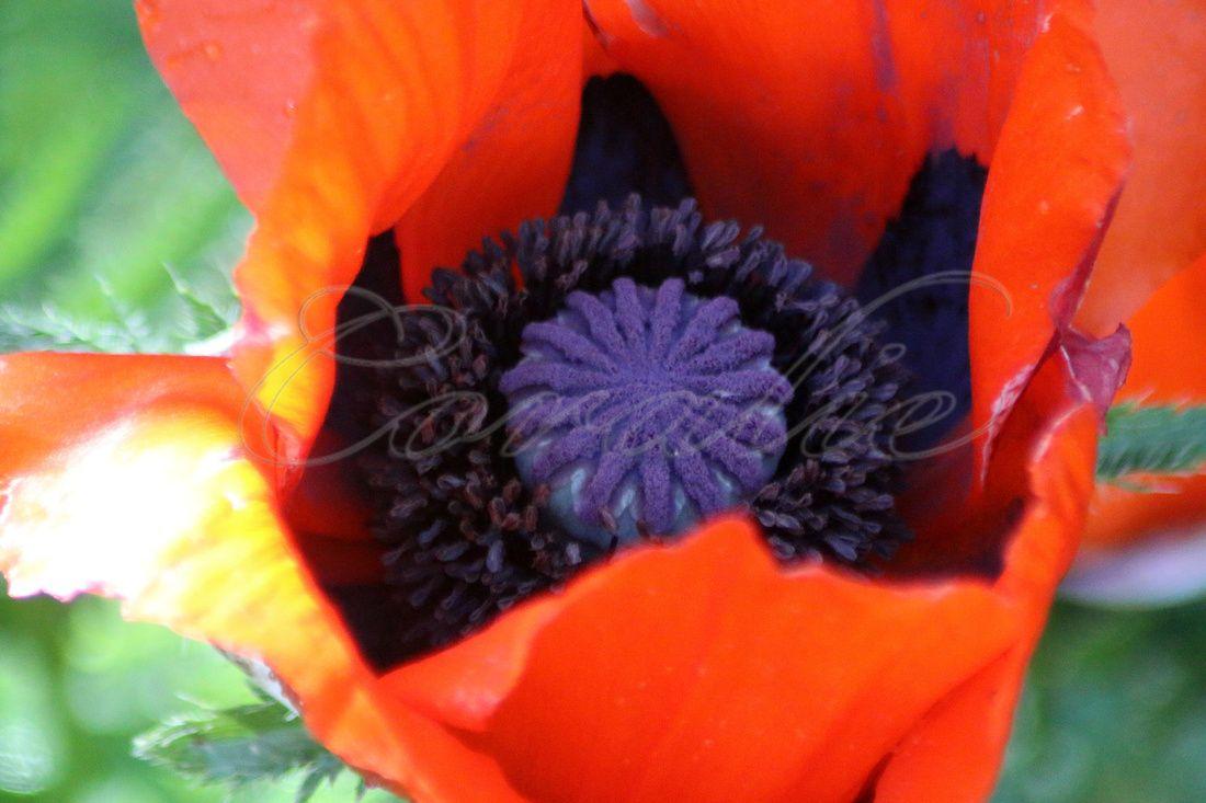Orange Poppy Flower Bloom Seed Pod Flowers Pinterest Orange