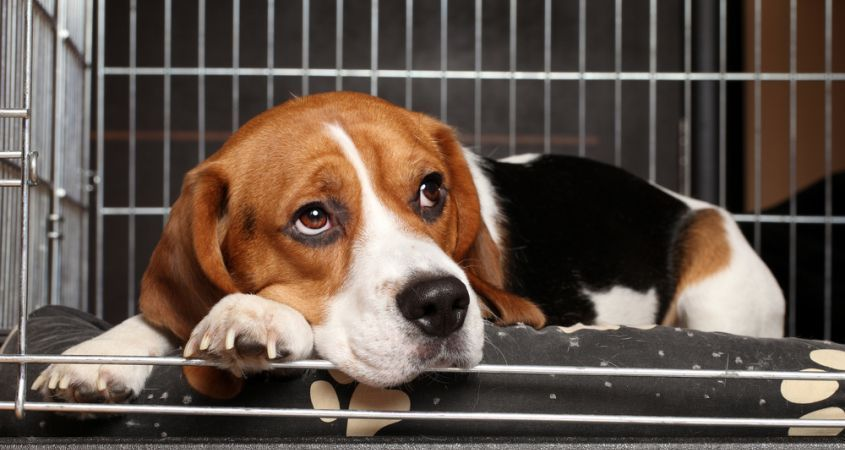 How To Crate Train An Adult Dog Puppy Crate Dog Crate Beagle Dog