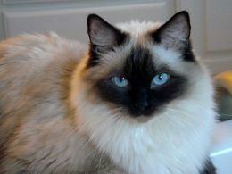 Ragdoll Cat Black White Grey With Piercing Blue Eyes Ragdoll Cat Cats Fluffy Cat Breeds