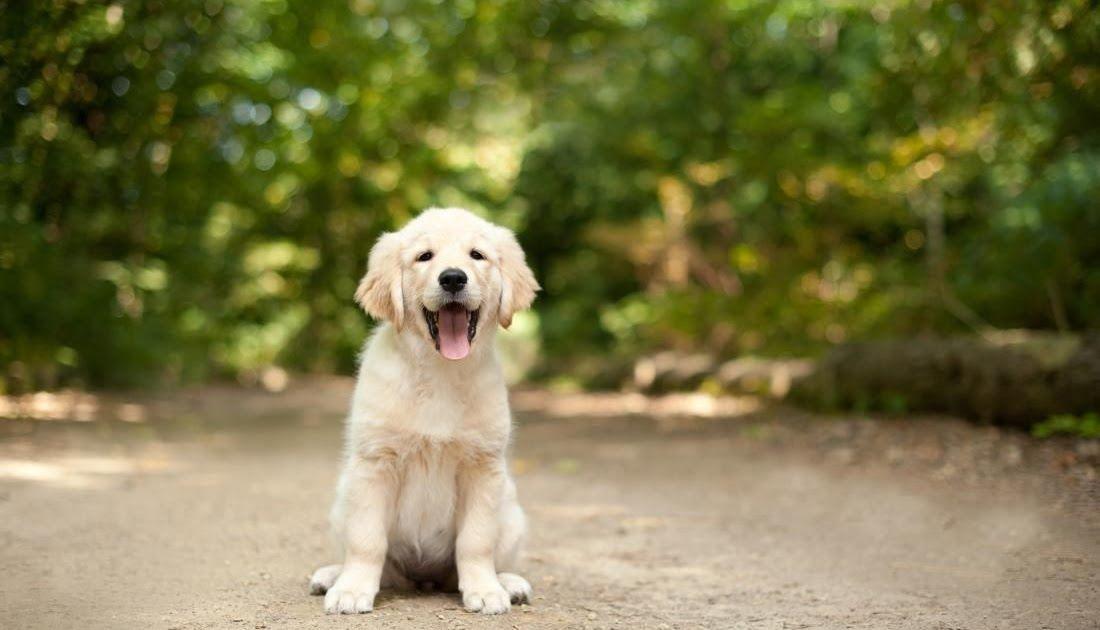 Wallpaper Anjing Golden Lucu 30 Gambar Anak Anjing Yang Lucu Lucu Dan Imut Dari Berbagai Jenis Anjin Di 2020 Ras Anjing Labrador Retriever Anjing Labrador Retriever