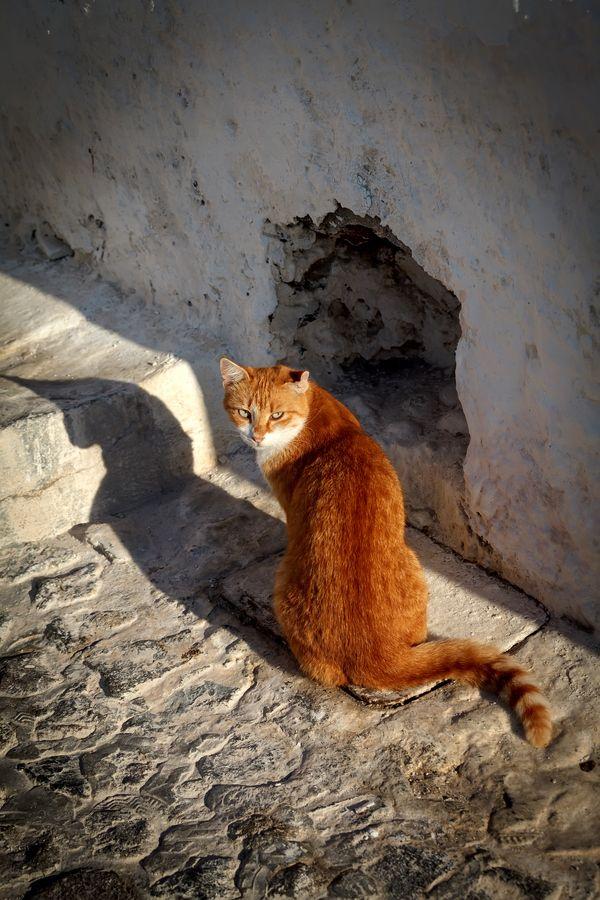 Cats of Santorini, Greece