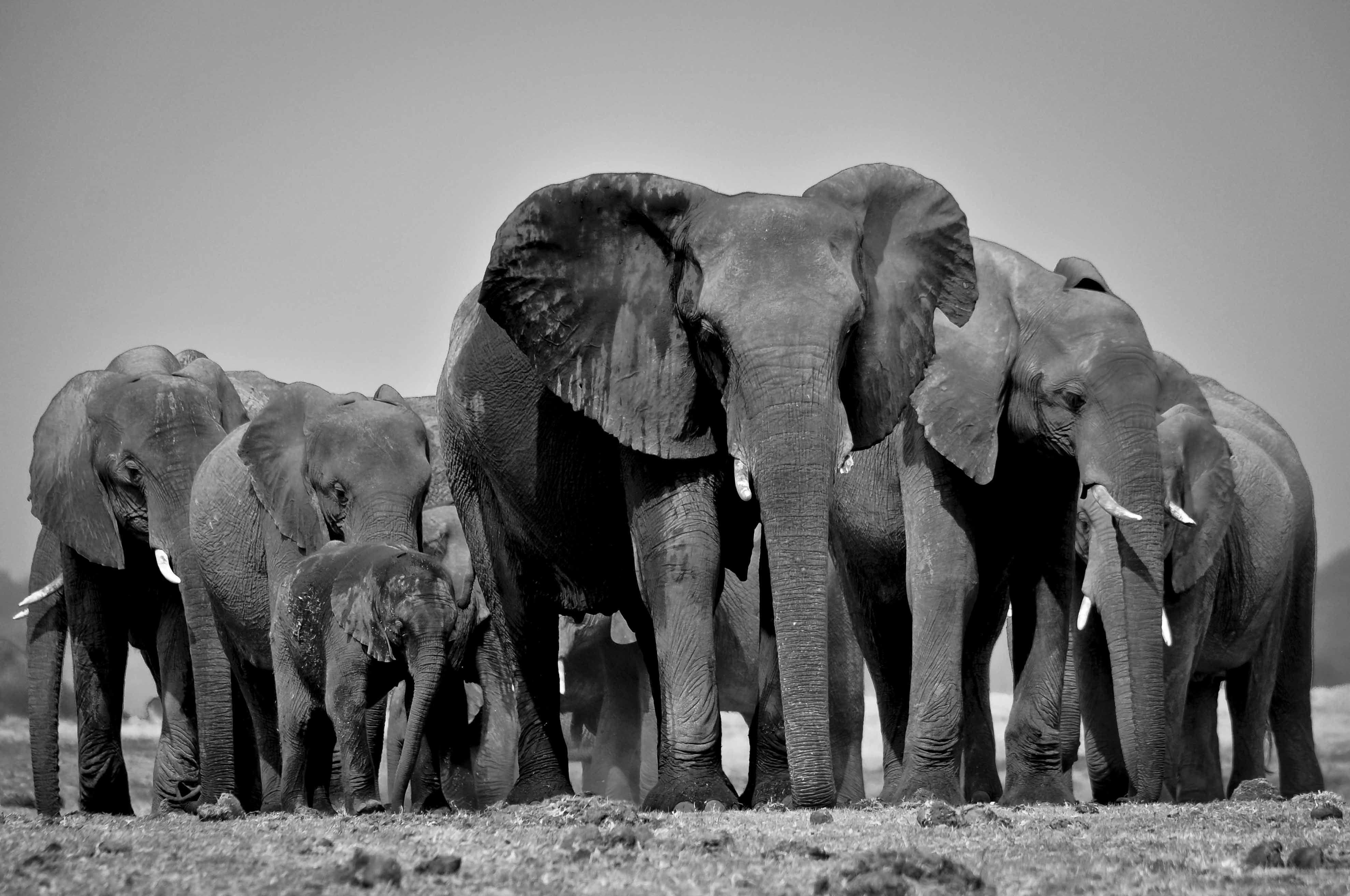 elephants black and white Google Search Elephant