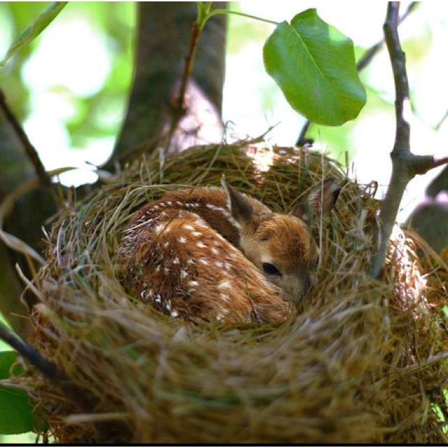 Fawn sleeping in a large birds nest!
