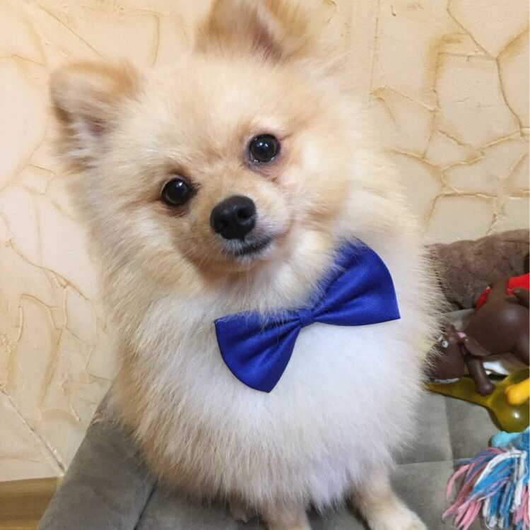 Must see Bow Tie Bow Adorable Dog - 540a050c4af44caaa81016b9c792d2e5  Photograph_179566  .jpg