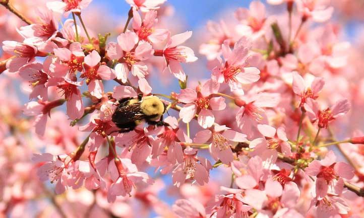 Okame Cherry Tree Growing Prunus Okame In Your Home Flowering Cherry Tree Cherry Tree Cherry Blossom Tree