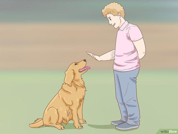 Train A Golden Retriever Golden Retriever Training Dog Breeds