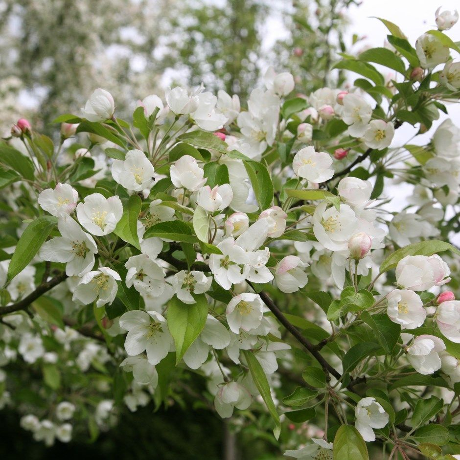 Buy Crab Apple Evereste Malus Evereste Delivery By Crocus Oh