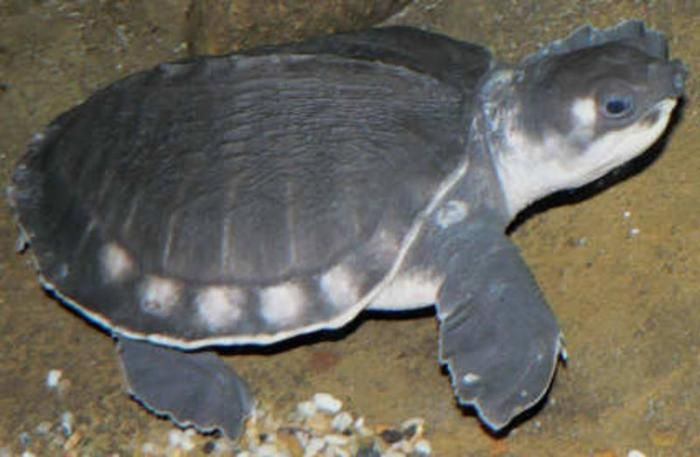 Fly River Turtle Aka Pig Nose Turtle One Of But A Few Freshwater