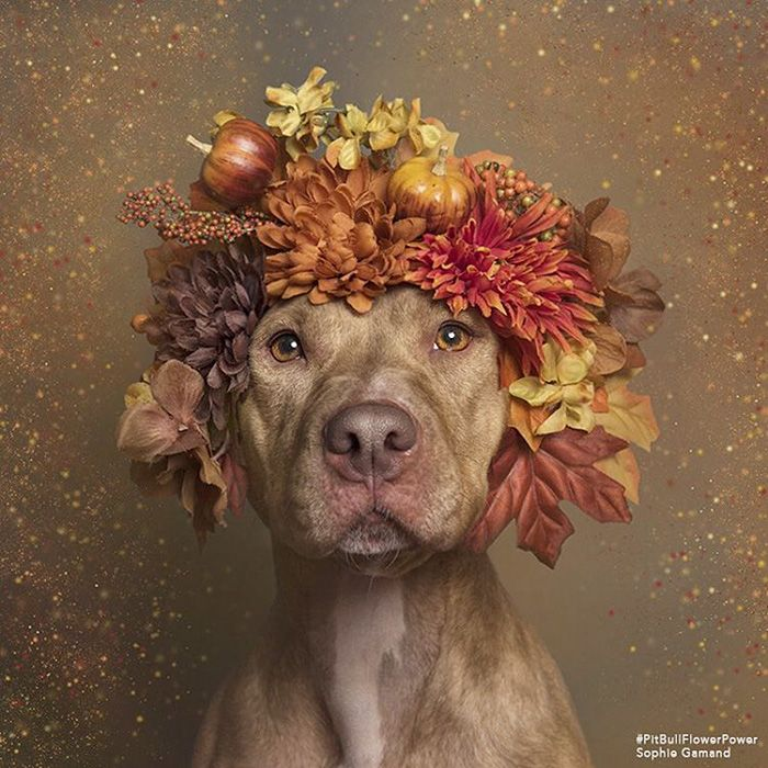 [Trending] Pit Bull Flower Power Already Found Homes For 140 Pits (New Pics)