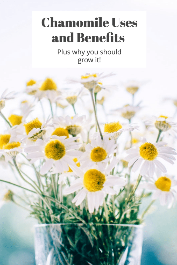 Chamomile: Uses and Benefits (plus 10 recipes and why your ...