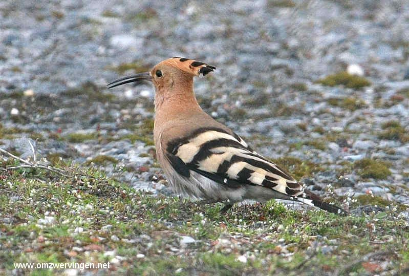 Beste Foto`s van zeldzame vogels - Google zoeken (met afbeeldingen HY-83