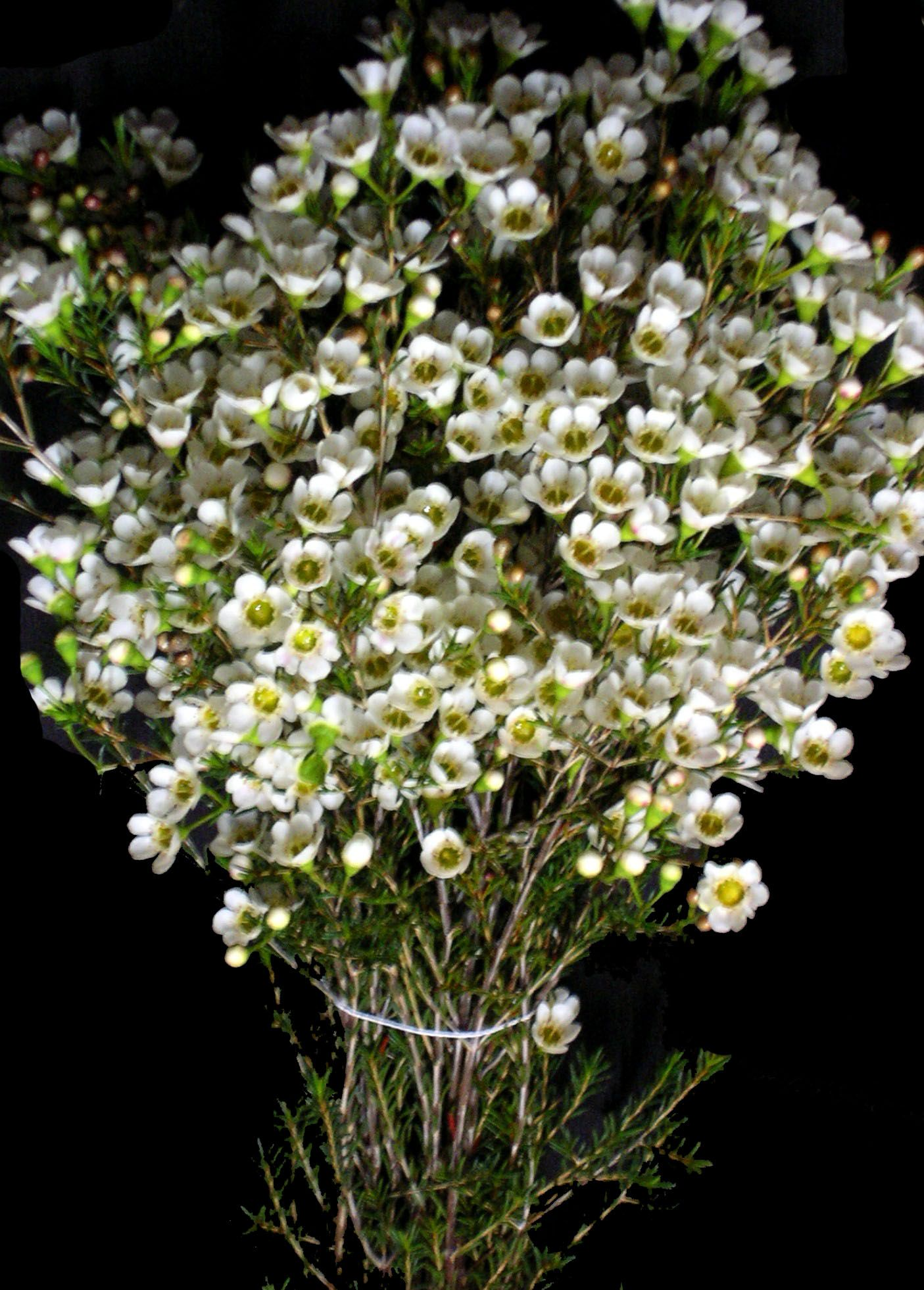 Waxflower is my favorite filler in arrangementsbouquets smells foliage and greenery archives j r roses wholesale flowers white wax mightylinksfo Choice Image
