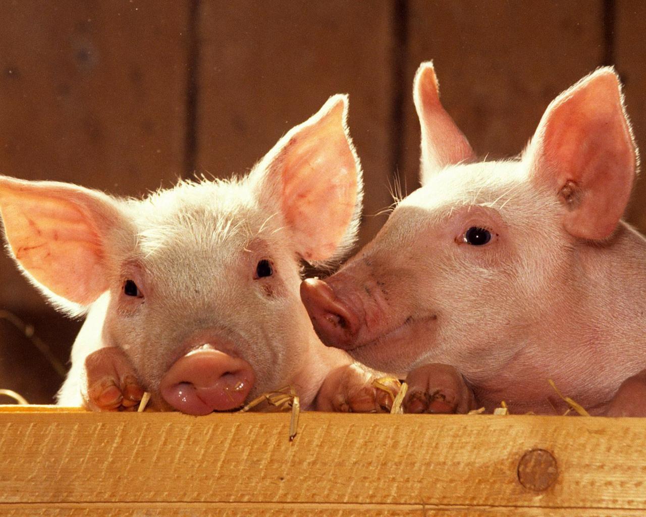 """Enero 28-2014: Día regido por el Cerdo de Tierra Yin """"Ji Hai"""". Día ..."""