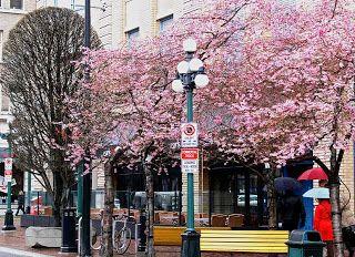 Cherry Blossoms In Victoria Bc Cherry Blossom Blossom Spring