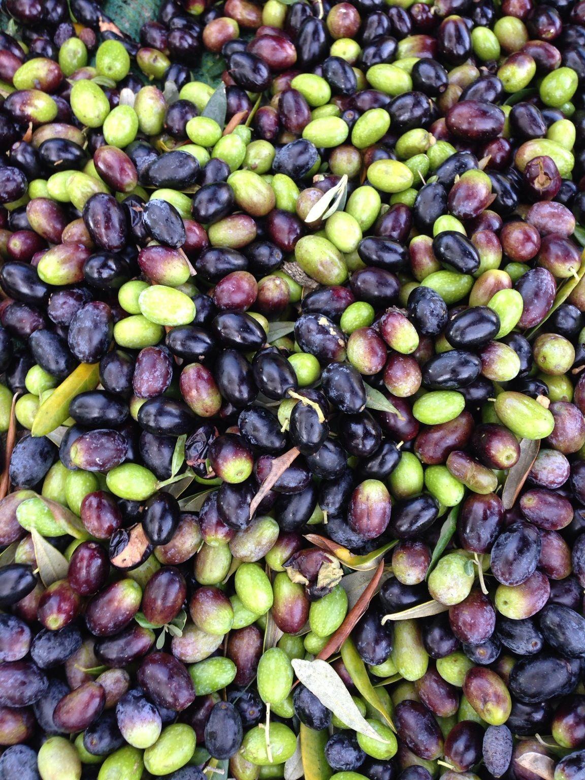 Olive - raccolta 2013 Bernalda, Basilicata