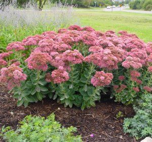 Autumn joy sedum drought tolerant once established blooms august november and deer aren 39 t a - Tough perennial bloomers drought insect and pest resistant flowers ...