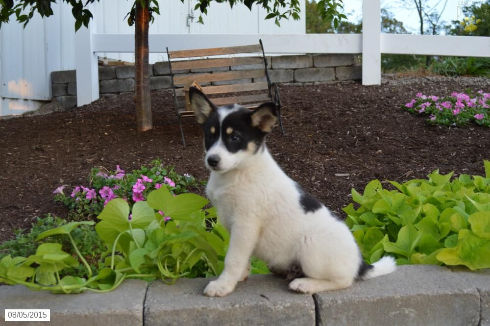 Blue heeler mix puppy for sale in ohio puppies puppies