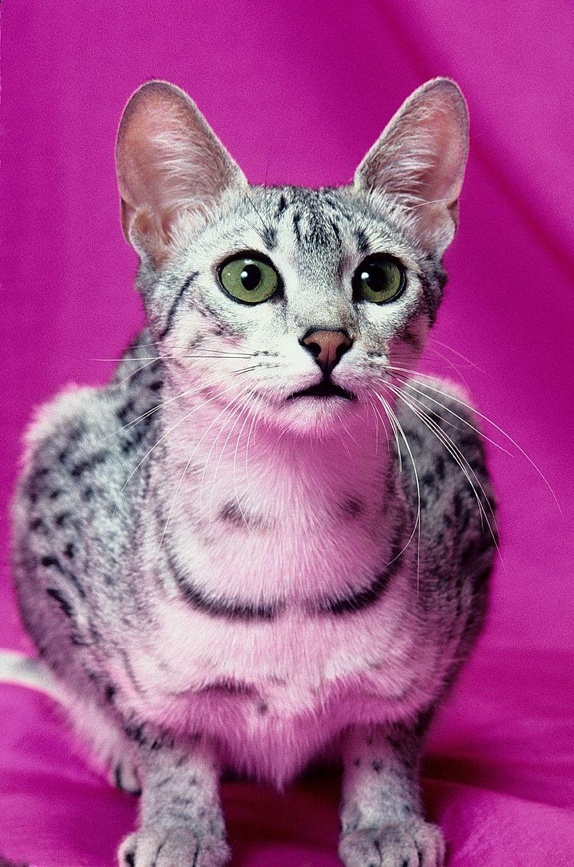 Egyptian Mau | Egyptian Mau | Cat Breeds at myPetSmart.com | Here ...