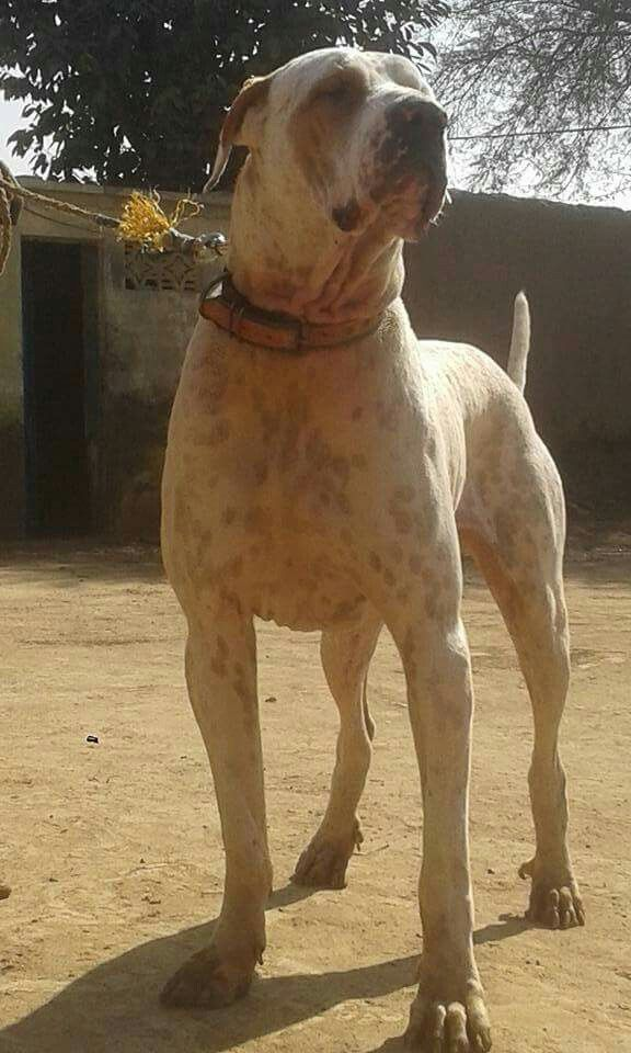 Pin By Priyanshu Sharma On Pakistani Indian Mastiff Pitbull Puppies Puppies Large Dog Breeds