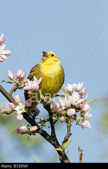 Yellowhammer Emberiza Citrinella In Song Norfolk April C David Tipling Alamy