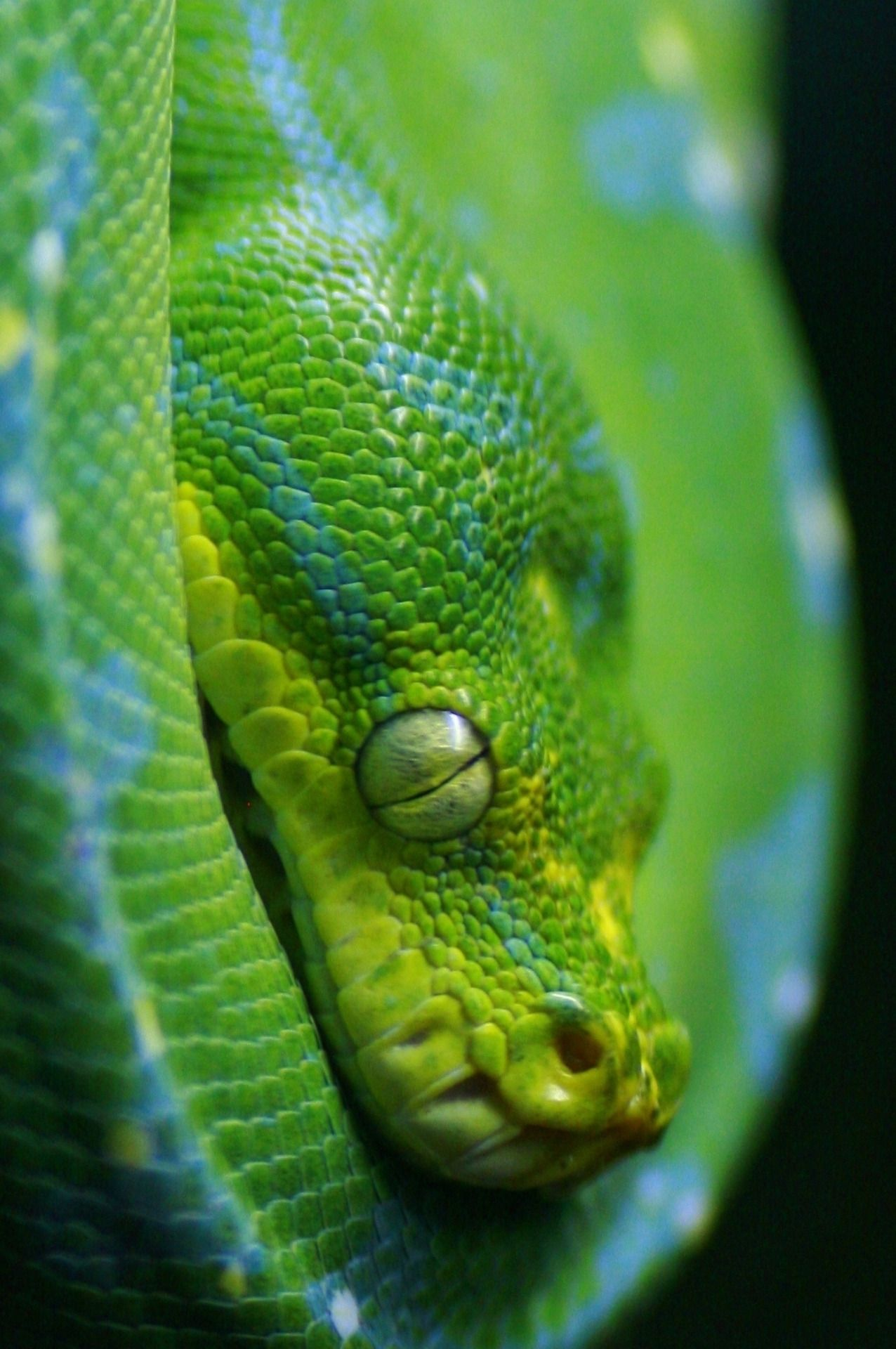 "heaven-ly-mind: ""Green Python, Singapore Zoo by Raphael Bick on ..."