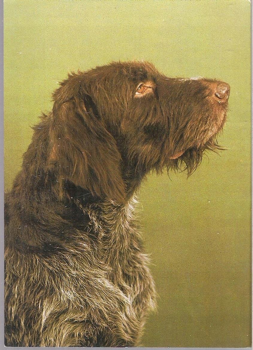 Pocztowka Wyzel Niemiecki Szorstkowlosy Kaw 75 Animals Dogs