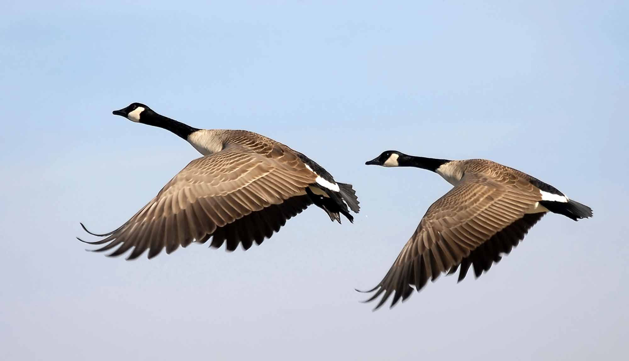 Goose the canadian encyclopedia animals pinterest bird goose the canadian encyclopedia biocorpaavc Gallery