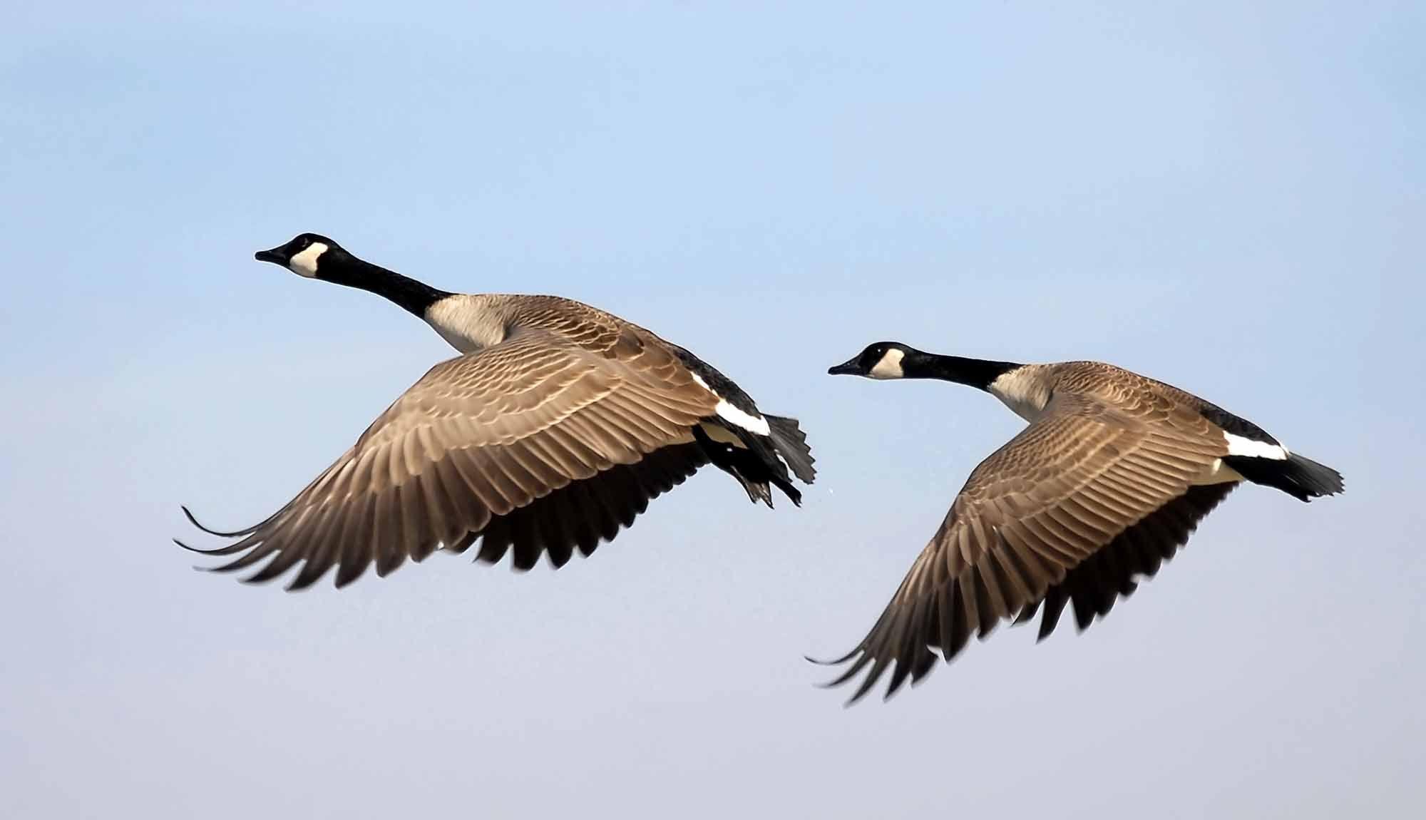 Goose the canadian encyclopedia animals pinterest bird goose the canadian encyclopedia biocorpaavc