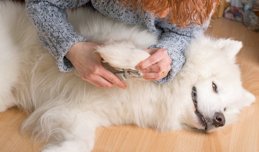 Dog Grooming Huge Free Guide For Beginners Dog Grooming Samoyed Dogs