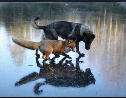 Cão e raposa ...improvável!