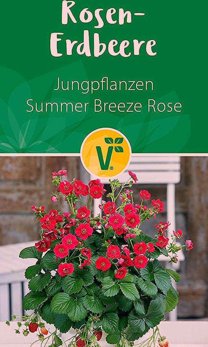 Photo of Rosen-Erdbeere 'Summer Breeze Rose'