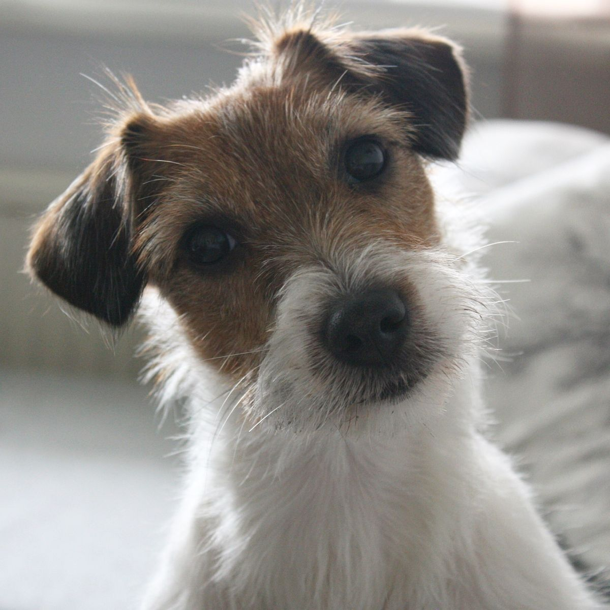 Forevera And Ever Jack Russell Terrier Jack Russell Dogs Jack Russell