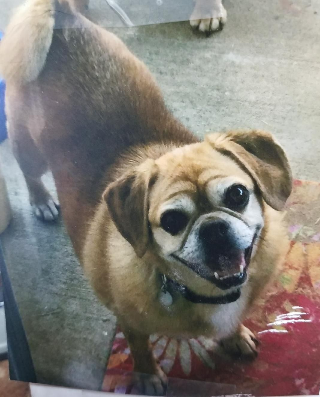 Puggle Dog For Adoption In Pawtucket Ri Adn 621641 On