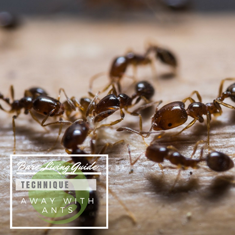 Peppermint essential oil is a gem for repelling ants