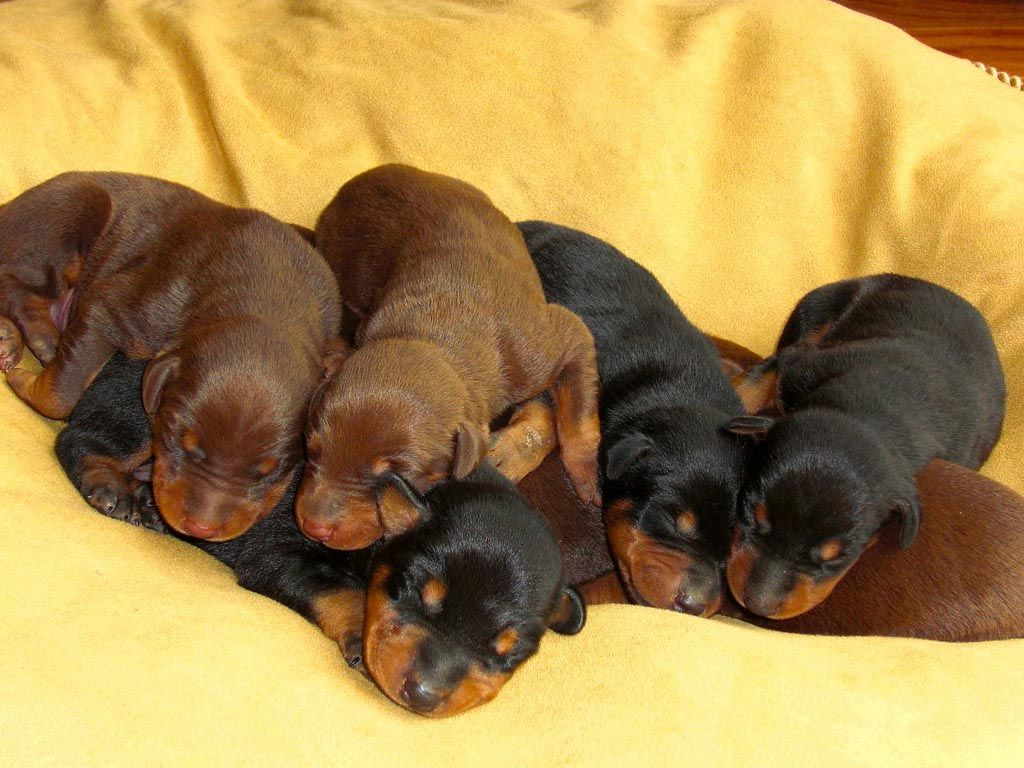 Black and red doberman pinscher puppies dogs and puppies