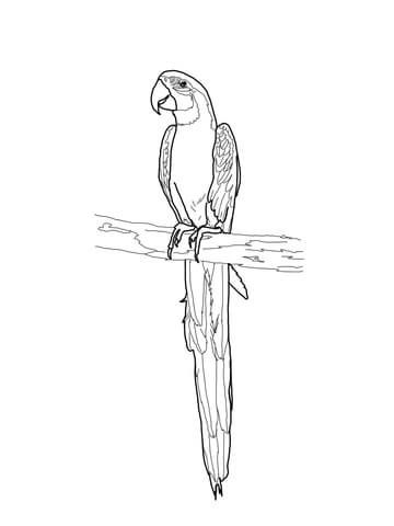 Blue And Gold Macaw Coloring Page Coloring Pages Parrots Art