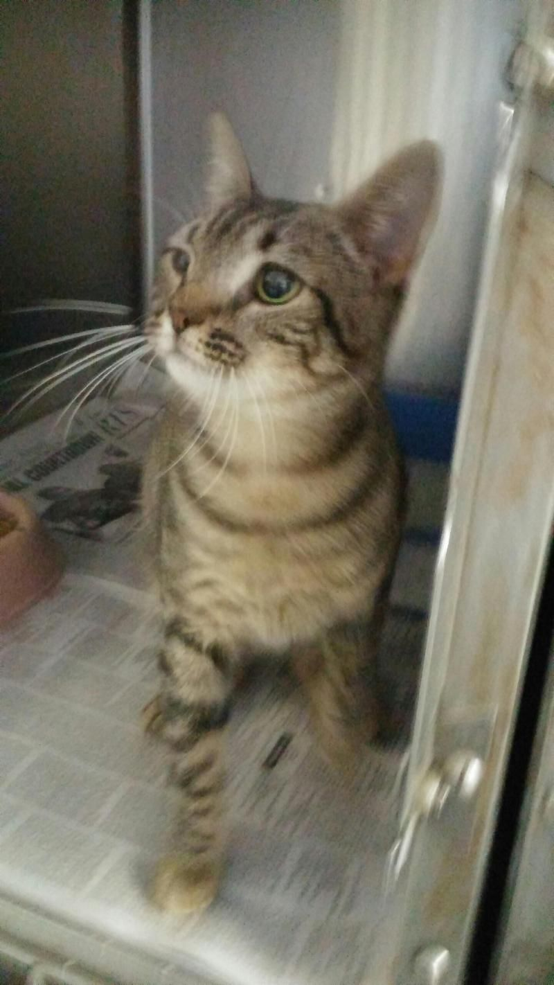 Meet Cat U008, a Petfinder adoptable Tabby Cat Rocky