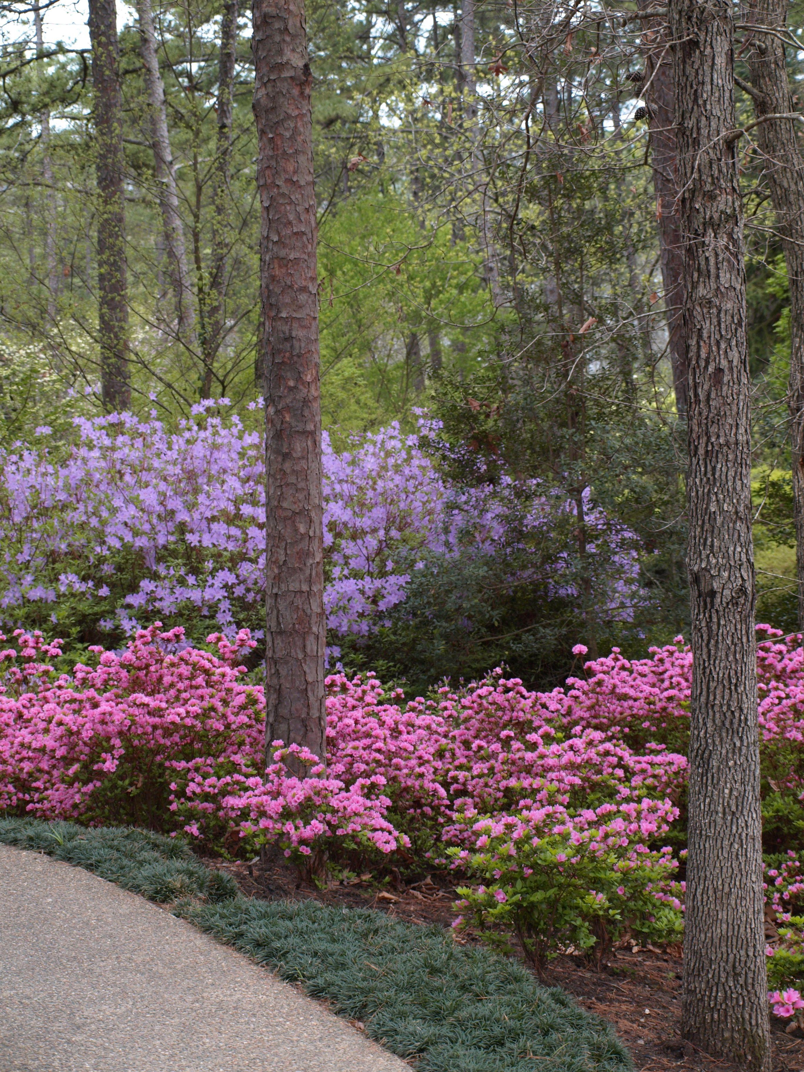 Azaleas Garvan Gardens Hot Springs Arkansas My Photos