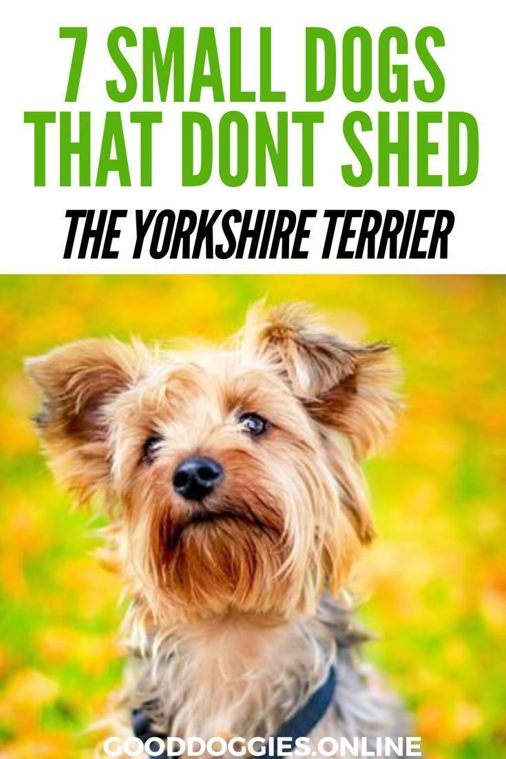 7 Adorable Non Shedding Small Dogs Small Dog Breeds Dog Breeds That Dont Shed Small Dogs Dog Breeds