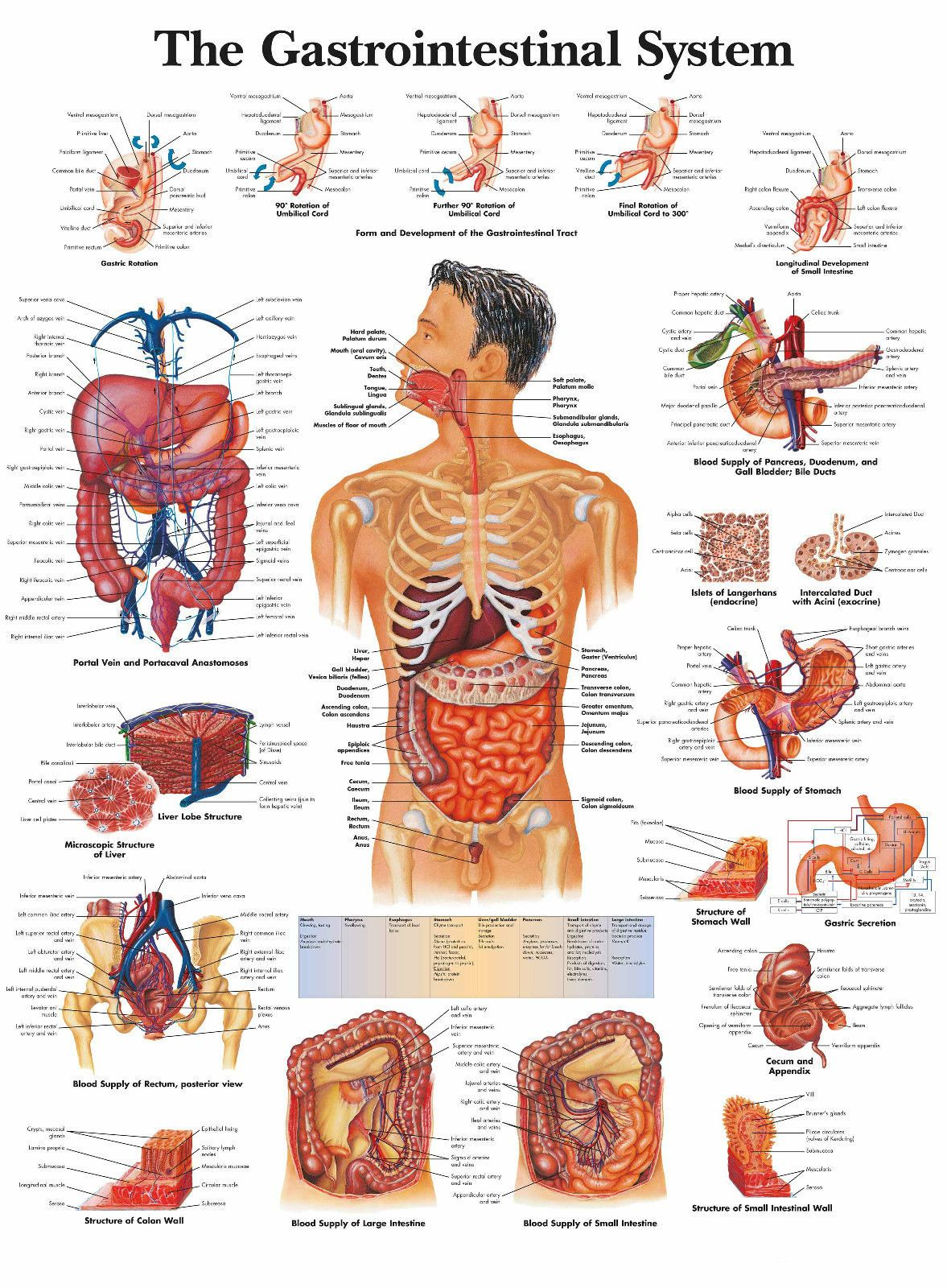 A3 Medical Poster The Human Gastrointestinal System Text Book