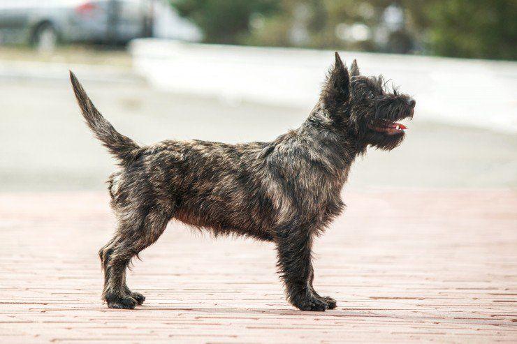 Cairn Terrier Dog Breeds Terrier Dog Breeds Cairn Terrier