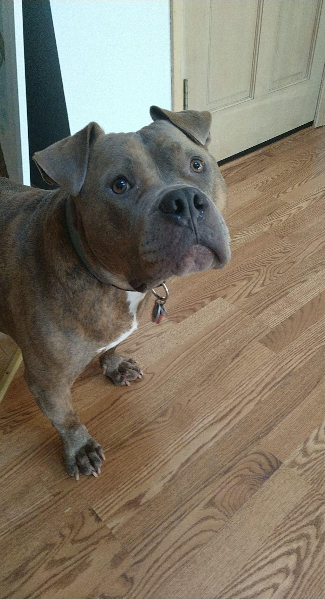 44+ Adorable Pitbull Mixed Breeds | Facts & Pics | Doggypedia -   - #adorable #breeds #DogLovers #doggypedia #DogsandPuppies #facts #mixed #Pics #pitbull
